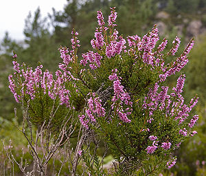Photography of the flower Calluna vulgaris. ‪N...